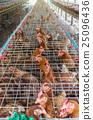 egg chicken farm 25096436