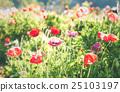 Soft focus vivid poppy on the field. 25103197