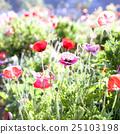 Soft focus vivid poppy on the field . 25103198