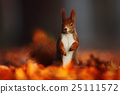 Cute red squirrel with long pointed ears eats 25111572
