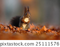 Cute red squirrel with long pointed ears eats 25111576