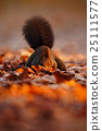 Cute red squirrel with long pointed ears eats 25111577