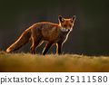 Red Fox, Vulpes vulpes, beautiful animal 25111580