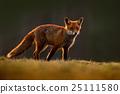 Red Fox, Vulpes vulpes, beautiful animal 25111580