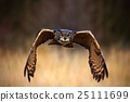 Eurasian Eagle Owl, Bubo bubo, flying bird 25111699