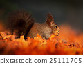 Cute red squirrel with long pointed ears eats nut 25111705