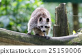 Adult racoon on a tree 25159006