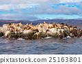 Seal Island near Ushuaia 25163801