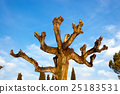 Pruned Tree on a Blue Sky with Clouds 25183531