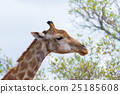giraffe, neck, head 25185608