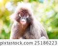 dusky, leaf, monkey 25186223