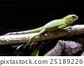 A child of Fiji Iguana 25189226