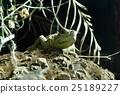 จิ้งจก,สัตว์เลื้อยคลาน,สัตว์ 25189227