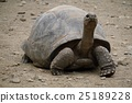 Strong-faced giant tortoise 25189228