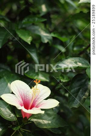 中國玫瑰 25189899