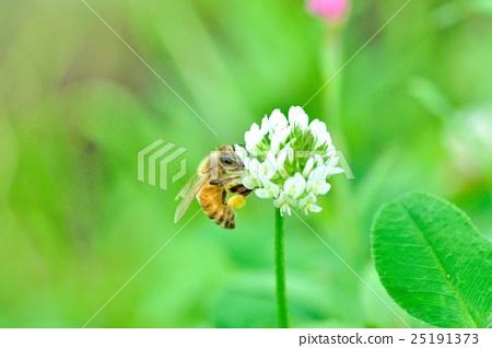 토끼풀 (클로버)와 꿀벌 25191373