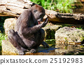 animal gorilla monkey 25192983