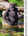 animal gorilla monkey 25192984