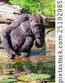 動物 大猩猩 猴子 25192985