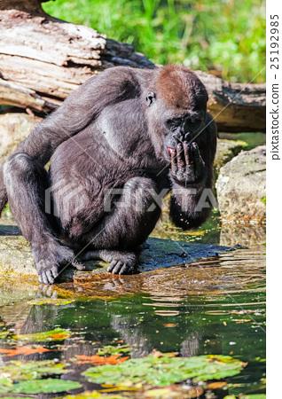 The drinking gorilla 25192985