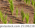 Young green paddy rice plant 25196238