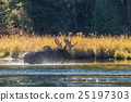 Bull Moose Crossing River in the Rut 25197303