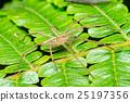 Nursery Web Spider (Pisaura mirabilis) on a leaf 25197356