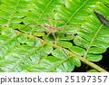 Nursery Web Spider (Pisaura mirabilis) on a leaf 25197357