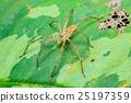 Nursery Web Spider (Pisaura mirabilis) on a leaf 25197359