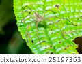 Nursery Web Spider (Pisaura mirabilis) on a leaf 25197363
