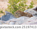 Big Leopard in attacking position 25197413