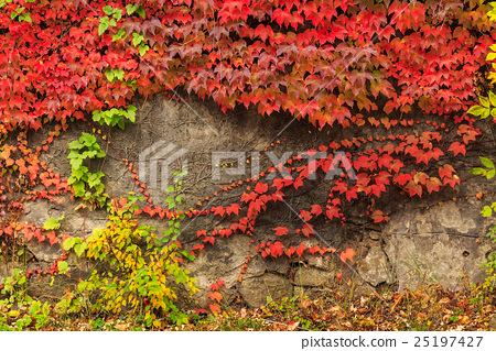plant with red leaves on stone wall 25197427