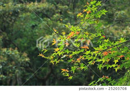 楓樹 25203708