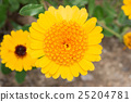 Gerbera Daisy yellow flower in flower garden 25204781