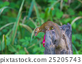 Common treeshrew or Southern treeshrew 25205743