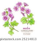 malva, purple, blossom 25214813