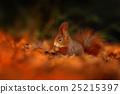 Cute red squirrel with long pointed ears eats nut 25215397
