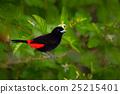 Scarlet-rumped Tanager, Ramphocelus passerinii 25215401