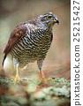 Detail portrait, birds of prey Goshawk sitting 25215427