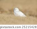 Bird snowy owl with yellow eyes sitting in grass 25215428
