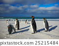 Group of sea birds. Group of King penguins 25215484