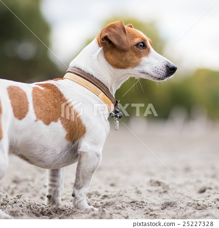Jack russel looking attentively 25227328