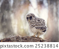 barred, owl, owlet 25238814
