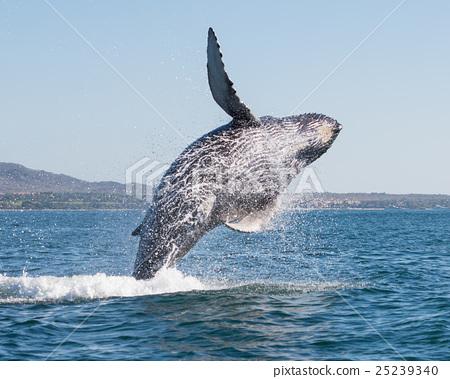 Whale breaching 3 25239340