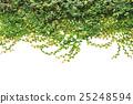 Fresh green ivy isolated on white background. Garden decoration 25248594