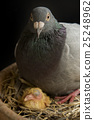 pigeon bird   hatching in home loft 25248962