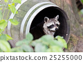 Racoon in a barrel, resting 25255000