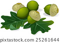 acorns vector 25261644
