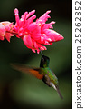 Black-Bellied Hummingbird, Eupherusa nigriventris 25262852