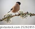 Bullfinch, Pyrrhula pyrrhula, sitting  25262855